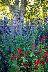 Border with Salvia 'Amistad' and Salvia splendens