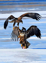 White-tailed eagles interact with each other over the Jingxin Wetland in northeast China's Jilin Province, March 17, 2016. Thanks to years of protection measures such as hunting ban and forest protection, the Jingxin Wetland which covers an area of more than 8000 hectares becomes home to many migrated birds including endangered species. EXPA Pictures © 2016, PhotoCredit: EXPA/ Photoshot/ Lin Hong<br /> <br /> *****ATTENTION - for AUT, SLO, CRO, SRB, BIH, MAZ, SUI only*****