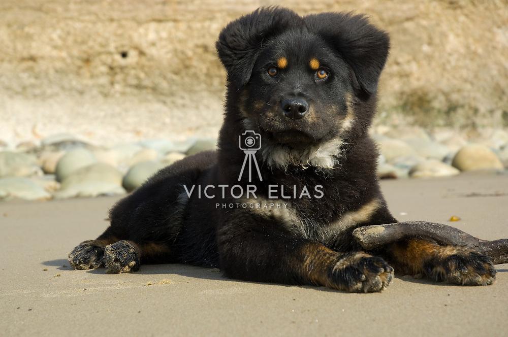 Chow Chow dog close up. Ventura, CA. USA.