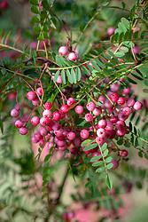 The berries of Sorbus vilmorinii - Rowan.