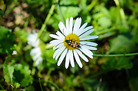 A bug sits in the middle of a daisy.
