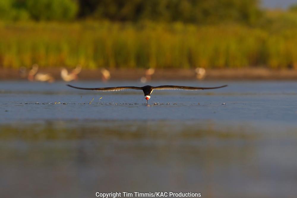 Black Skimmer, Rynchops niger, Bryan Beach, Texas gulf coast, skimming head on