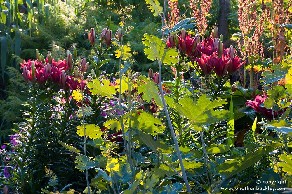 Lilium 'Nerone' with Macleaya cordata foliage in the Oast garden