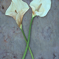 Two dried flowerheads of Arum or Calla lily or Zantedeschia aethiopica Crowborough lying on marbled slate