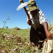 HARARE,  ZIMBABWE                               APRIL, 2000<br /> <br /> A small scale farmer harvests the last of her maize crop in a small rural community outside Harare, Zimbabwe. <br /> <br /> Photo by Lori Waselchuk/South Photographs