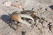 Fiddler Crab; Uca sp.; near burrow entrance; Texas Gulf Coast