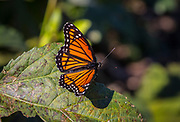 Viceroy, butterfly, Limenitis archippus, Kleb Wood Nature Park, Tomball, Texas