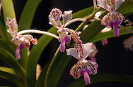 Pink lavender purple and brown orange spots pattern the curled and elongated petals of exotic orchid flowers