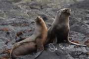South American Fur seals (Arctocephalus australis) rest along the rocky shoreline of Isla de Los Estados, Argentina.