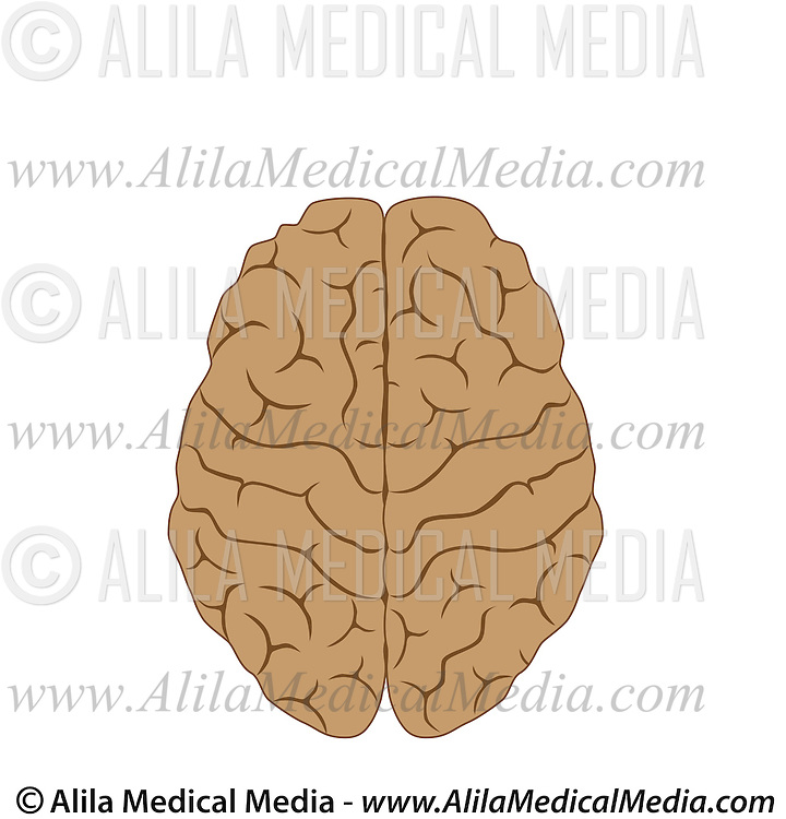 Functions Of The Brain Alila Medical Images