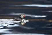 Puffin swimming in the ocean | Lundefugl som svømmer i sjøen.