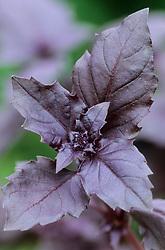 Purple sweet basil. Ocimum basilicum 'Purple Delight'