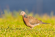 A spotted dove walks through short grass