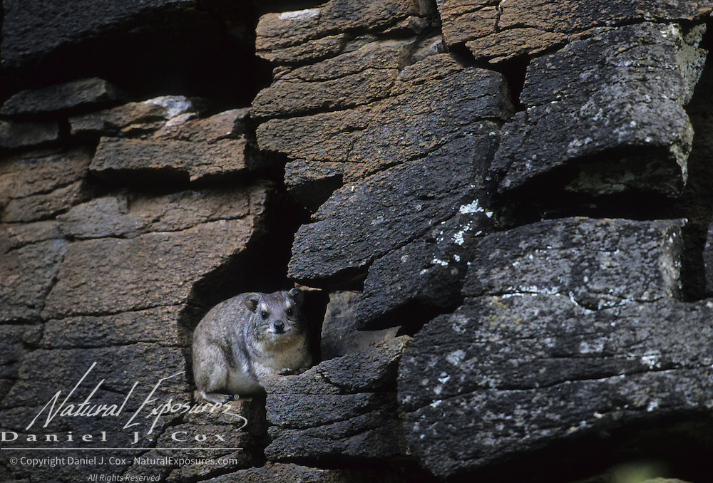 Yellow-spotted rock hyrax living among rocks in Masai Mara National Reserver. Kenya, Africa