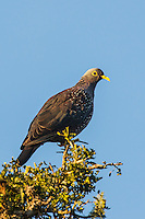 African Olive Pigeon, Addo Elephant National Park, Eastern Cape, South Africa