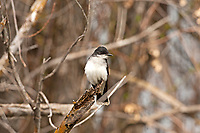 An Eastern Kingbird perched along a northern Utah reservoir watching from a branch as insects fly by this bird catches insects in flight.