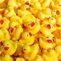 A thousand rubber ducks wait before their race during a charity event of the Rotary Club in Szentendre (about 20 km North of the capital city Budapest), Hungary on August 31, 2013. ATTILA VOLGYI