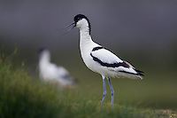 Avocet (Recurvirostra avocetta) Texel, The Netherlands