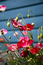 Bright pink poppies flowering against ablie clapboard background.
