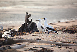A masked booby adult and chick on Adele Island, the most remote island in the Buccaneer Achipelago,
