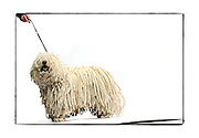 "SHOT 2/18/08 2:45:05 PM - Portraits of various dogs at the 13th Annual Rocky Mountain Cluster dog show at the National Western Complex in Denver, Co. ""Andy"", a four year old male Puli shows off the long braided cords indicative of the breed. ""Andy"" is owned by Carol Zamperini and Mary Carol Jenn both of Denver, Co. He was Best of Breed for three days straight and is already a champion. The Puli is a medium-small breed of dog known for its long, corded coat and was the dog of Hungarian peasants. The tight curls of the coat, similar to dreadlocks, make it virtually waterproof. The Puli is a solid colored dog that can be black, white, gray or a cream color, ""fako"" in Hungary. The Puli is an ancient sheep dog of Hungary, introduced by the migration of the Magyars from Central Asia in the Middle Ages. Nomadic shepherds of the Hungarian plains valued their herding dogs, paying as much as a year's salary for a Puli. In Asia, the breed goes back 2000 years and anecdotal evidence suggests a Puli-like dog existed 6000 years ago. This breed is possibly the ancestor of the modern Poodle. Puliks are very intelligent, have excellent agility, are obedient and athletic. They are also fabulous herding dogs. They get attached to their owner and can be wary of strangers. The dog show features some of the top show dogs in the country and showcases close to 200 different breeds. Some 3,500 dogs and some of the top handlers in the country compete at the event which follows on the heels of Westminster. In a conformation show, judges familiar with specific dog breeds evaluate individual dogs for how well they conform to published breed standards. Conformation shows are also referred to as dog shows or breed shows. Conformation shows are typically held under the auspices of a national kennel club. At the highest levels are Championship or all-breed shows, which have separate classes for the majority of breeds.(Photo by Marc Piscotty / © 2008)"