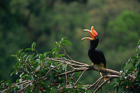 Rhinoceros Hornbill (Buceros rhinoceros) female perched in a tree. .Gunung Palung National Park, West Kalimantan, Borneo, Indonesia.