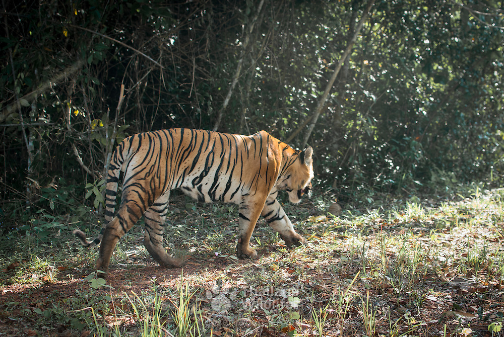 A wild tiger (Panthera tigris) in one of Thailand's  World Heritage Sites.