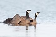 Cackling Geese, Branta hutchinsii, mated pair, Yukon Delta NWR, Alaska
