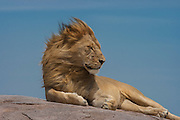 Male lion resting on  kopje (rock outcrop