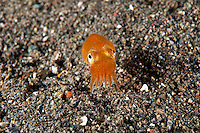 Orange Bottletail Squid..Shot in Indonesia