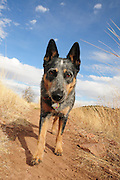A Blue Heeler named Jazz hikes the Arizona Trail in the Coronado National Forest in the Santa Rita Mountains in the Sonoran Desert north of Sonoita, Arizona, USA.
