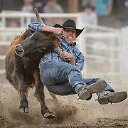 A cowboy steer wrestling at the Falkland Stampede.