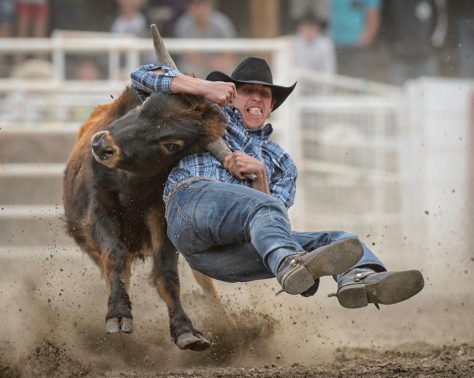 A cowboy steer wrestling at the Falkland Stampede.