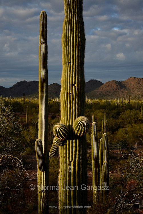 Saguaro cactus at sunset in the Sonoran Desert, Ironwood Forest National Monument, Eloy, Arizona, USA.