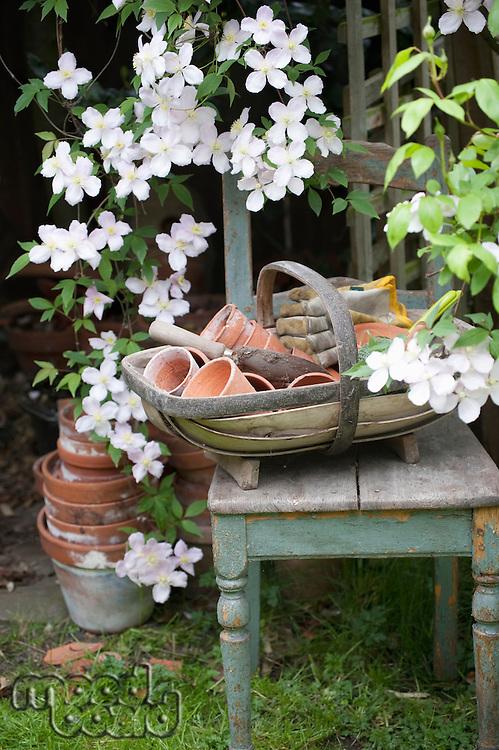 Flowering Clematis and garden tools