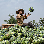 A laotian farmer is picking up watermelons near the chinese border. Muangsing, Laos - March 19th 2009.