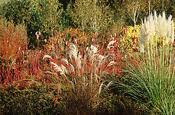 Autumn border. Pampas ( Cortaderia ), Miscanthus and Cornus sibirica at Lady Farm