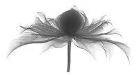 X-ray image of a 'Diamantina' clematis flower, lateral view (Clematis 'Diamantina', black on white) by Jim Wehtje, specialist in x-ray art and design images.