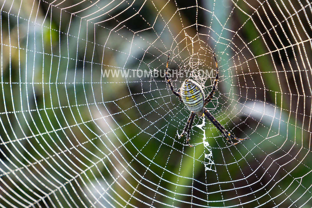 Wawayanda, New York  - A black and yellow garden spider (Argiope aurantia), also known as a writing spider or corn spider, and its web are covered in dew on the morning of Sept. 23, 2013.