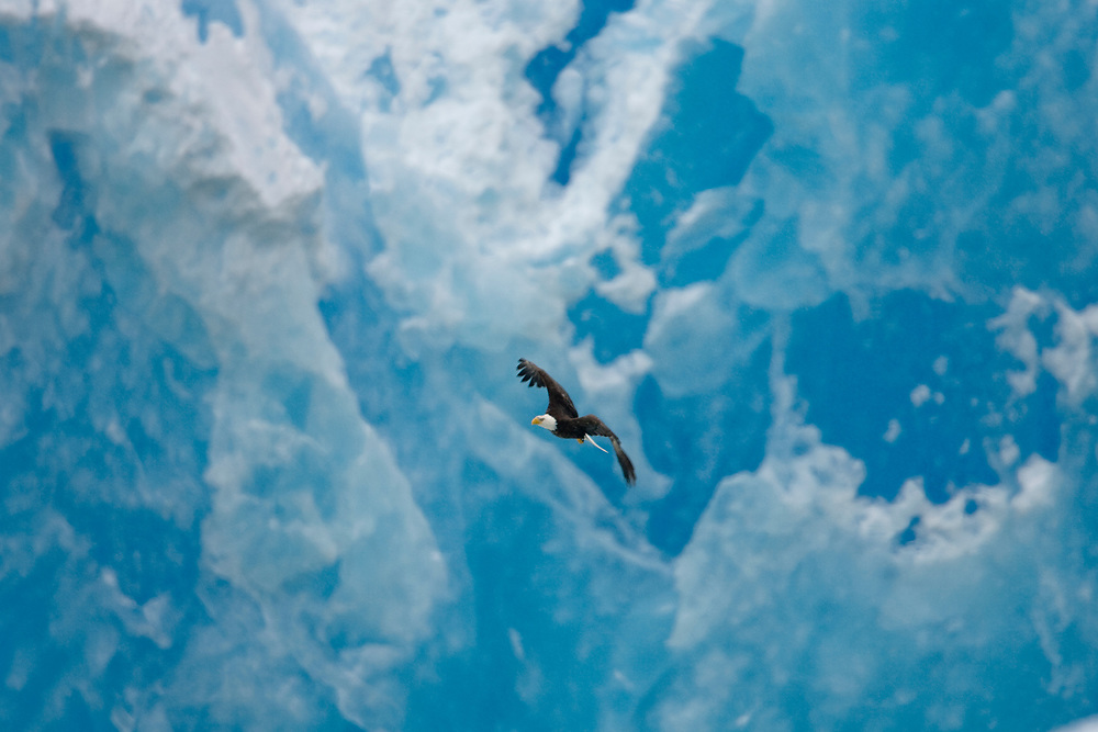 USA, Alaska, Tongass National Forest, Bald Eagle (Haliaeetus leucocephalus) flying past blue face of South Sawyer Glacier