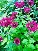 Scarlet BeeBalm, Reading Public Museum Arboretum, Reading, Berks Co., PA