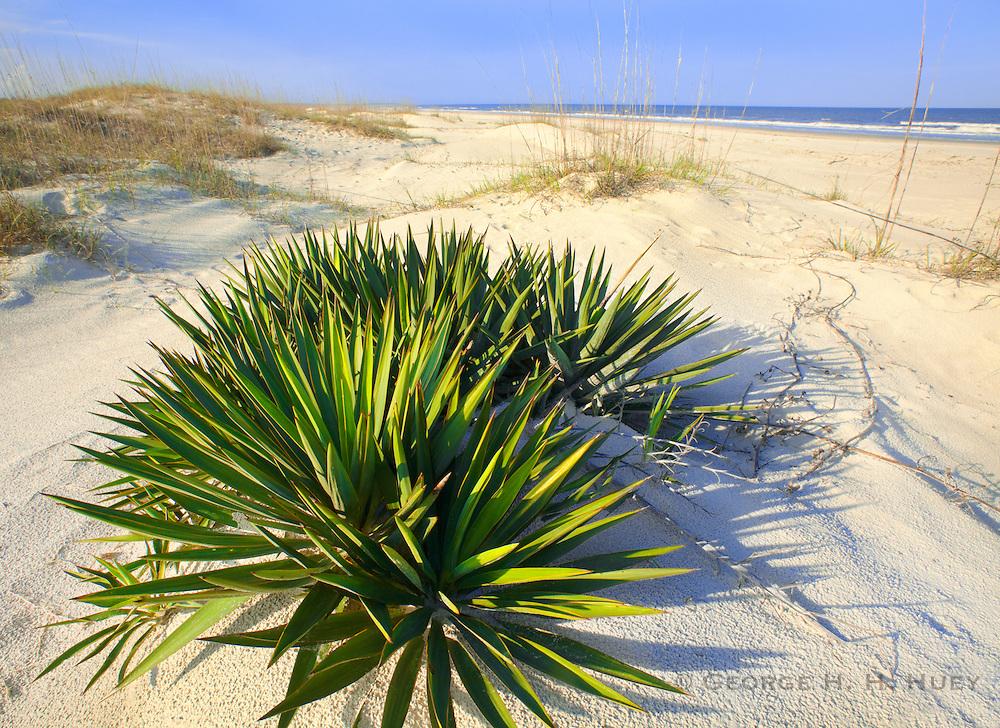 1300-1003~ Copyright: George H.H. Huey ~ Spanish dagger [Yucca gloriosa] in sand dunes on Cumberland Island.  Cumberland Island National Seashore, Georgia