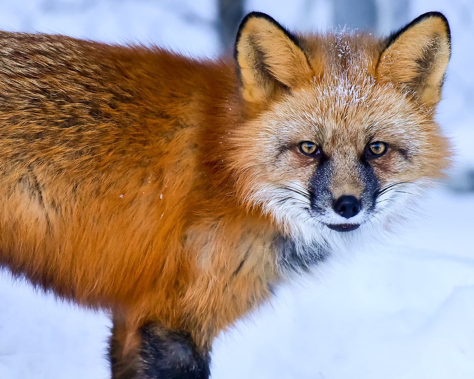 A red fox takes me down in a staring contest. Their senses of sight, sound, and smell are incredible.