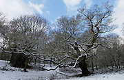 Snow covered trees on Hampstead Heath, London