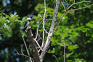 This Belted Kingfisher has moved out onto an open perch to try and catch a meal at a small stream in Ithaca, NY.