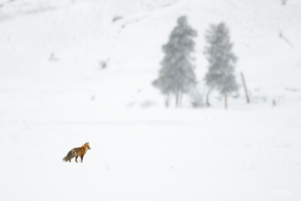 A red fox found mousing by Nez Perce creek.