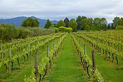 Vineyard,Marlborough, South Island, New Zealand