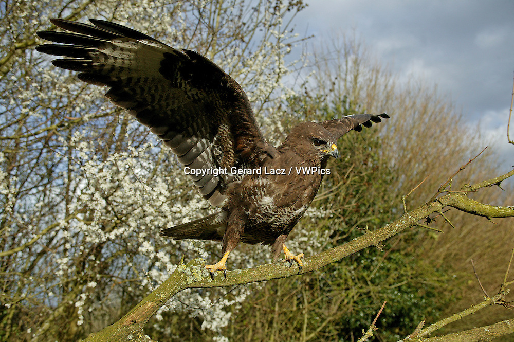 Common Buzzard, buteo buteo, Adult Taking off from Branch, Normandy