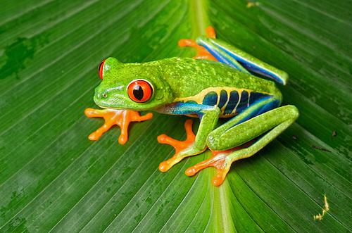Camilo, the red-eyed tree frog