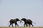 Elephants fighting in the Kruger National Park, South Africa...Kruger NP, South Africa.© Zute & Demelza Lightfoot